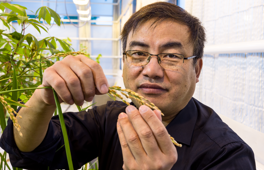 Prize-winning SLU research produces more rice – with less impact on climate